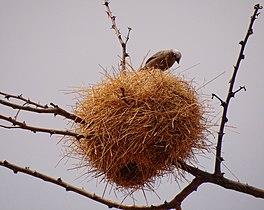 Pseudonigrita-arnaudi-Nest