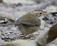 Puff-throated Babbler.jpg