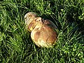 Puff Ball near Appleridge Farm - geograph.org.uk - 250321.jpg