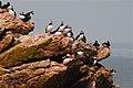 Puffins On Cliff (4857011342).jpg