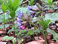 Pulmonaria officinalis - plućnjak.jpg
