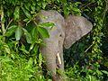 Pygmy Elephant (Elephas maximus borneensis) (8071012817).jpg