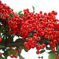 Pyracantha red column II.jpg
