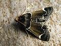 Pyralis farinalis - Meal moth - Огнёвка мучная (39415842670).jpg