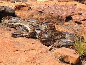 Python (genus) - Image: Python natalensis G. J. Alexander