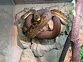 Python timoriensis Tropicario 1.JPG