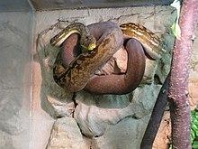 Python (genus)