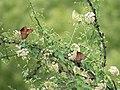 Queen (Milkweed Butterfly) San Pedro RNCA@ Fairbanks AZ 2018-08-08 11-20-35 (43666431304).jpg