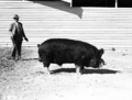 Queensland State Archives 1695 Champion Berkshire boar 1951.png