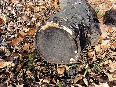 Quercus rubra SCA-05395.jpg