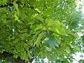 Quercus rubra leaves in Austria.JPG