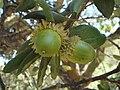 Quercus suber ce.JPG
