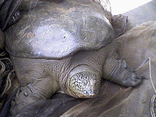 Yangtze giant softshell turtle species of reptile