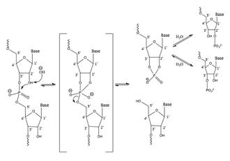 diagram of ribose deoxy ribose wikipedia  ribose wikipedia