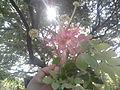 Rain Tree Flower.jpg