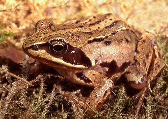 Moor frog - Image: Rana Arvalis Female