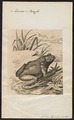 Rana bufo - 1700-1880 - Print - Iconographia Zoologica - Special Collections University of Amsterdam - UBA01 IZ11500187.tif