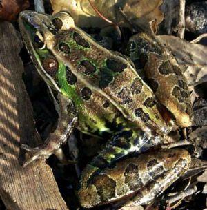 Leopard frog - Southern leopard frog (Lithobates sphenocephalus)