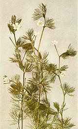 Ranunculus longirostris WFNY-079A.jpg