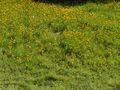 Ranunculus repens(03).jpg