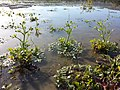 Ranunculus sceleratus sl23.jpg