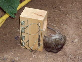 Rat trap - Image: Rat caught in a rat trap