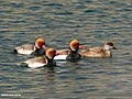 Red-crested Pochard (Netta rufina) (34056479236).jpg