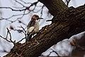 Red-headed Woodpecker molting (24213464525).jpg