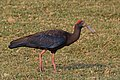 Red-naped ibis (Pseudibis papillosa).jpg