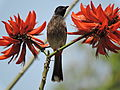 Red-vented bulbul, near Sukhna Lake ,Chandigarh, India 03.JPG
