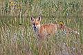 Red Fox (14539515839).jpg
