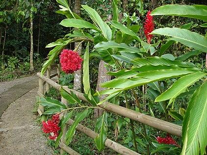 Alpinia purpurata (red ginger)