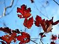Red Maple (31075885535).jpg