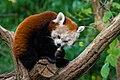 Red Panda (26772964319).jpg