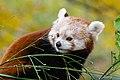 Red Panda (37661721075).jpg