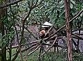 Red Panda l Darjeeling Zoo.jpg