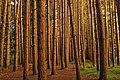 Red Pine Plantation (21356182192).jpg