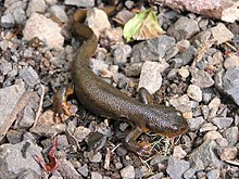 Red bellied newt.jpg
