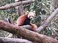 Red panda 003.JPG