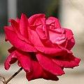 Red rose (2Q7A0053).jpg