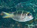Redfin bream (Monotaxis heterodon) (32168521307).jpg