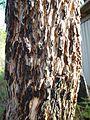 Redgum bark.jpg