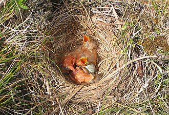 Redwing - Nests are often constructed on the ground.