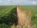 Reedy drain, Lazier Fen, Stretham, Cambs - geograph.org.uk - 357572.jpg