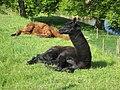 Resting Alpacas.jpg