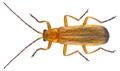 Rhagonycha fulva (Scopoli, 1763) (24867234979).png