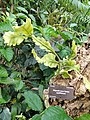 Rhipsalis teres forma capilliformis - Denver Botanic Gardens - DSC00911.JPG