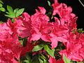 Rhododendron 'Ernst Thiers' 01.JPG