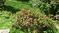 Rhododendron Vallespir.jpg