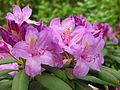 Rhododendron catawbiense 16.JPG